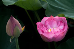 Lotus and bud Stock Images