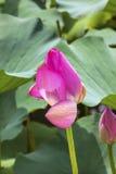 Lotus Bud Close Up Beijing China rosada Imágenes de archivo libres de regalías