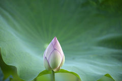 Lotus bud close up Royalty Free Stock Image
