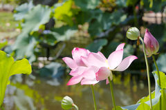 Lotus , bud and cupule Stock Images