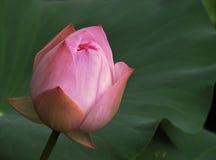 Lotus Bud. Hong Kong - July 2016 Image of a blushing pink lotus bud against the green lotus leaves in Hong Kong Park stock photography