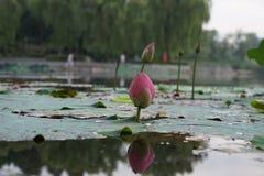 Lotus bud and invert shadow Royalty Free Stock Photos
