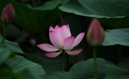 Lotus. Bud and the  leaf, blossom Stock Photo