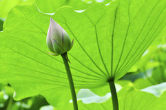 Lotus bud and leave. Little lotus bud hiding behind big green leave Royalty Free Stock Images