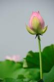 Lotus bud Stock Images