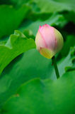 Lotus bud Stock Images