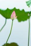 Lotus bud Stock Image