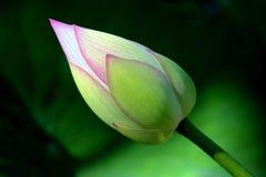 Lotus bud Royalty Free Stock Images