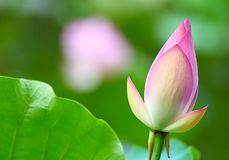 Lotus bud in pond Stock Images