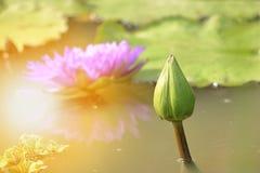 Lotus bud on the pond Royalty Free Stock Photo