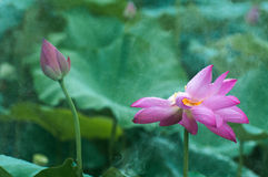 Lotus and bud in the rain Stock Images