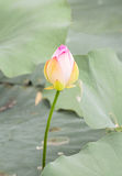 A lotus bud in summer. A lotus bud surrounded by the green leaves Royalty Free Stock Photos