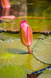 Lotus bud Stock Photography