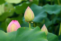 Lotus bud Royalty Free Stock Photography
