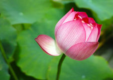 Lotus bud under sunshine Stock Image