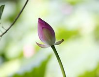 lotus bud, japonical in full bloom with green leaf Stock Photos