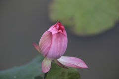 Lotus. Bud will open tomorrow Stock Images