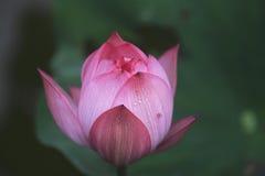 Lotus. Bud will open tomorrow Royalty Free Stock Photo