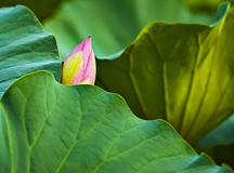 Lotus buds Stock Images