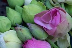 Lotus buds and flowers, royalty free stock image