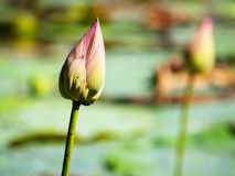 Lotus buds in perspective Stock Photo
