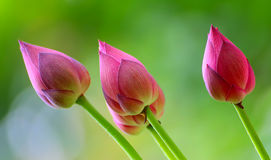 Lotus buds in the wind. Wind blown lotus buds with natural background stock images