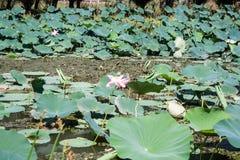 Lotus bushes on the river Stock Photo