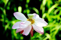 Lotus center Royalty Free Stock Images