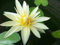 Lotus che bloomming Immagini Stock Libere da Diritti