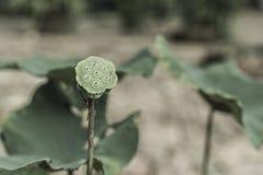 Lotus che caduta della foglia e calice verde Immagine Stock