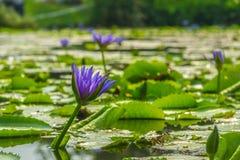 Lotus che fiorisce nello stagno Fotografia Stock
