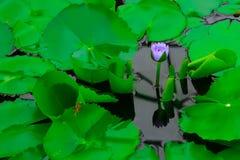 Lotus che fiorisce per il sole nell'acqua immagine stock libera da diritti
