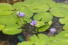 Lotus, Chi Lin Nunnery Stock Image