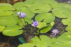 Lotus, Chi lin Nunnery. Chi lin Nunnery, Hong Kong Stock Image