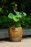 Lotus and chinese jar in garden park. Lotus tree in chinese jar Stock Photography
