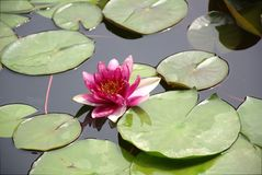 Lotus in the clear water stock images