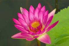 Lotus Close para arriba Fotografía de archivo