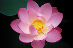 Lotus, close up Stock Image