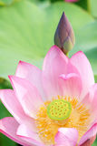 Lotus. The close-up of lotus flower and bud Royalty Free Stock Photos