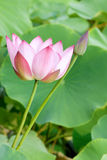 Lotus. The close-up of lotus flower and bud Stock Image