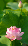 Lotus. The close-up of lotus flower and bud Stock Images