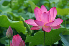 Lotus. The close-up of lotus flower and buds Royalty Free Stock Image