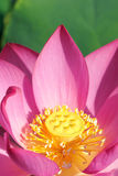 Lotus. The close-up of lotus flower heart Stock Photo