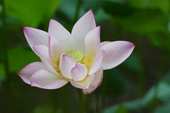 Lotus close up Royalty Free Stock Photos