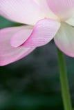 Lotus Closeup stock images