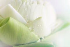 Lotus closeup background Stock Image