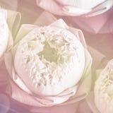 Lotus closeup background Stock Photography