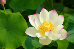 Lotus. The clouse-up of a white lotus flower royalty free stock image