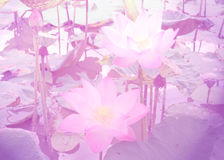 Lotus with color filters Royalty Free Stock Photos