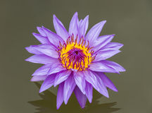 The lotus color purple. Royalty Free Stock Photos